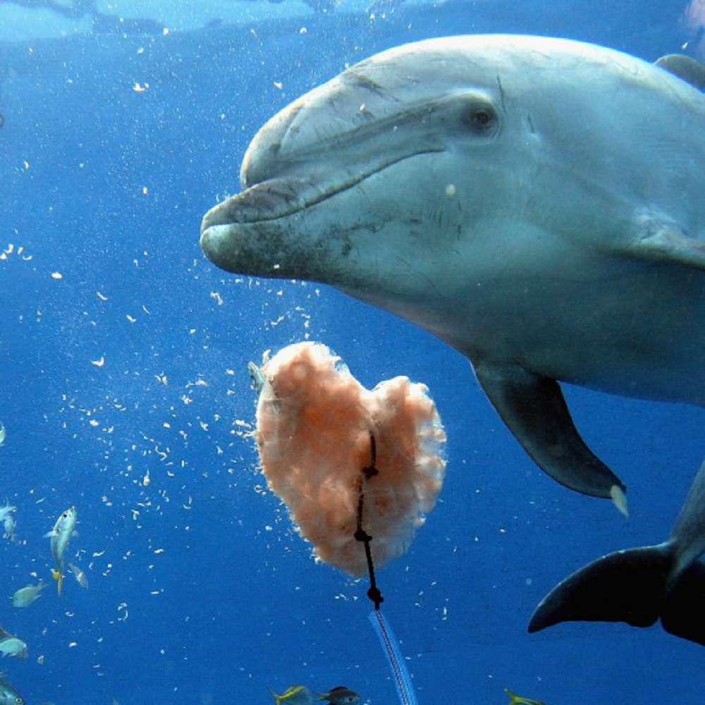 Preservação dos golfinhos: a busca pelo fim da caça predatória no Japão