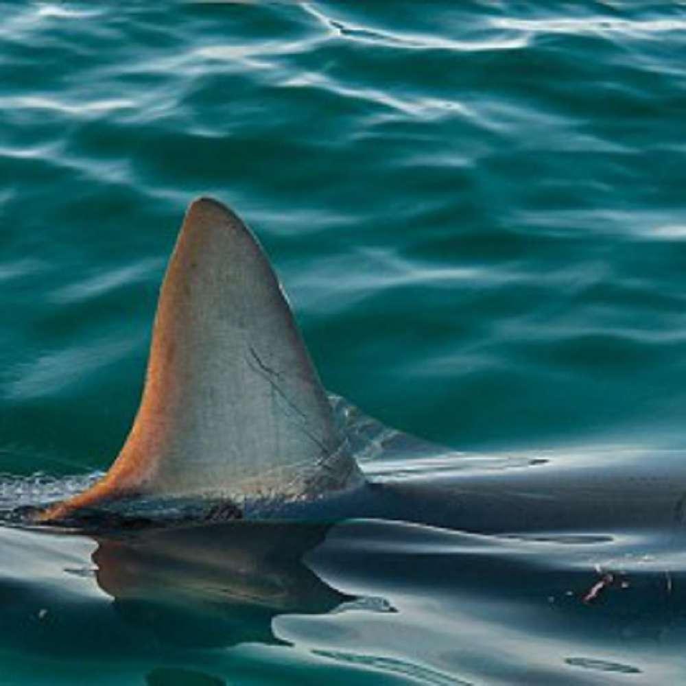 Desaparecimento dos tubarões dos oceanos: entenda as causas e consequências