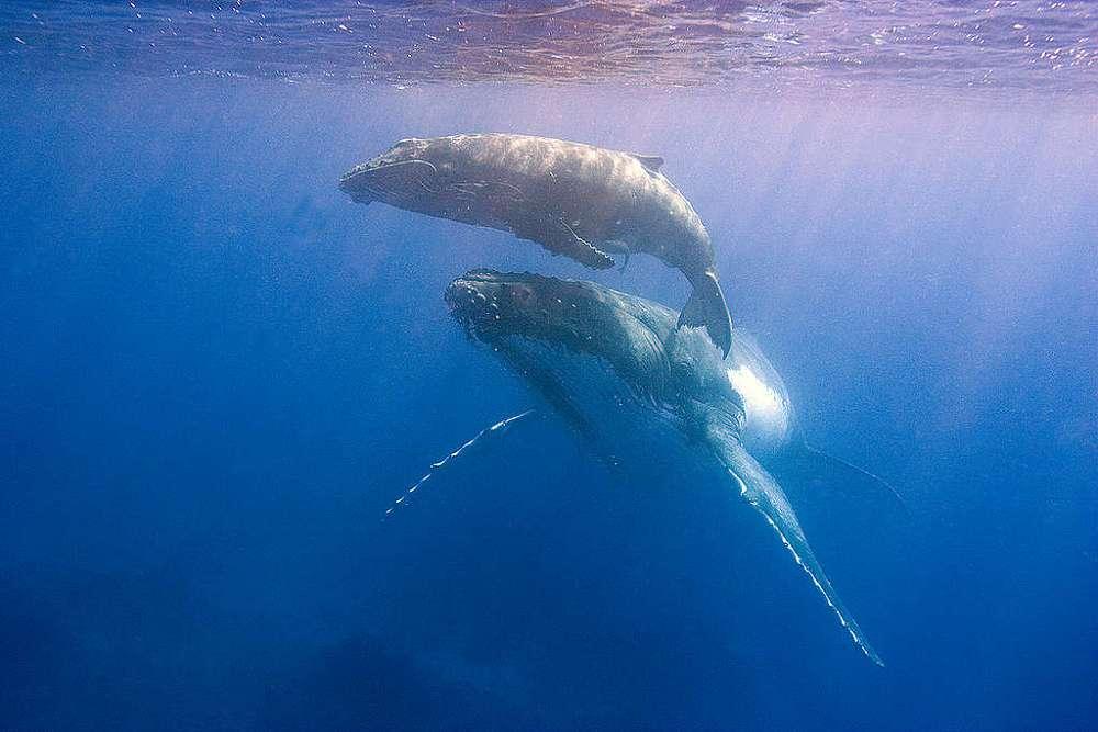 Entenda o papel das baleias para os oceanos