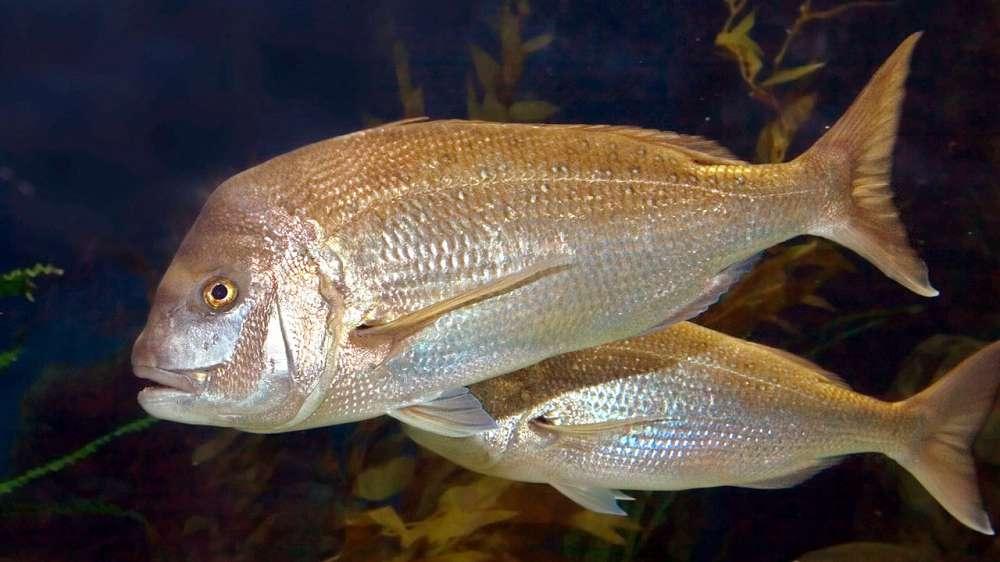 Entenda como peixes pequenos podem perder audição nos oceanos
