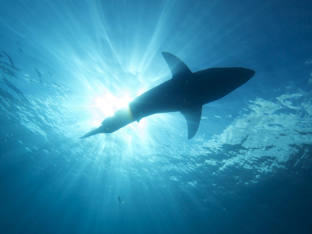 A importância dos tubarões para os oceanos: por que devemos protegê-los