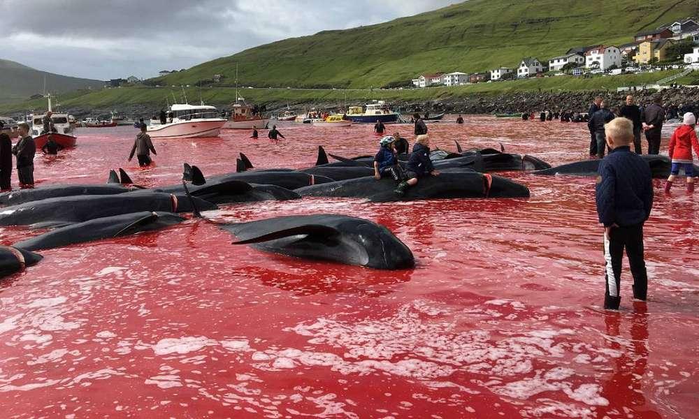 Massacre de 1,4 mil golfinhos deixa o mar vermelho de sangue nas Ilhas Faroe