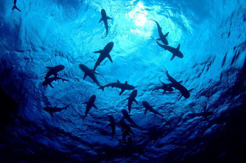 Um terço das espécies de tubarões e arraias estão ameaçadas extinção